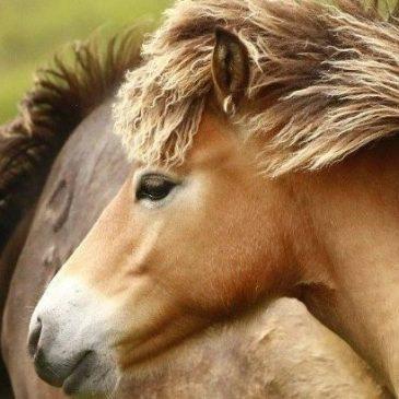 Running Wild | Exmoor Pony Photographic Competition