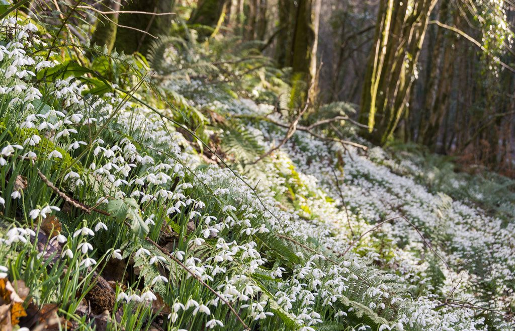 Snowdrops covering the woodland floor of Snowdrop Valley