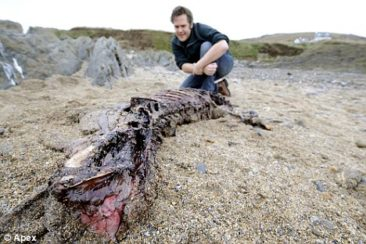 A large cat-like carcass - perhaps the Exmoor Beast is no more?