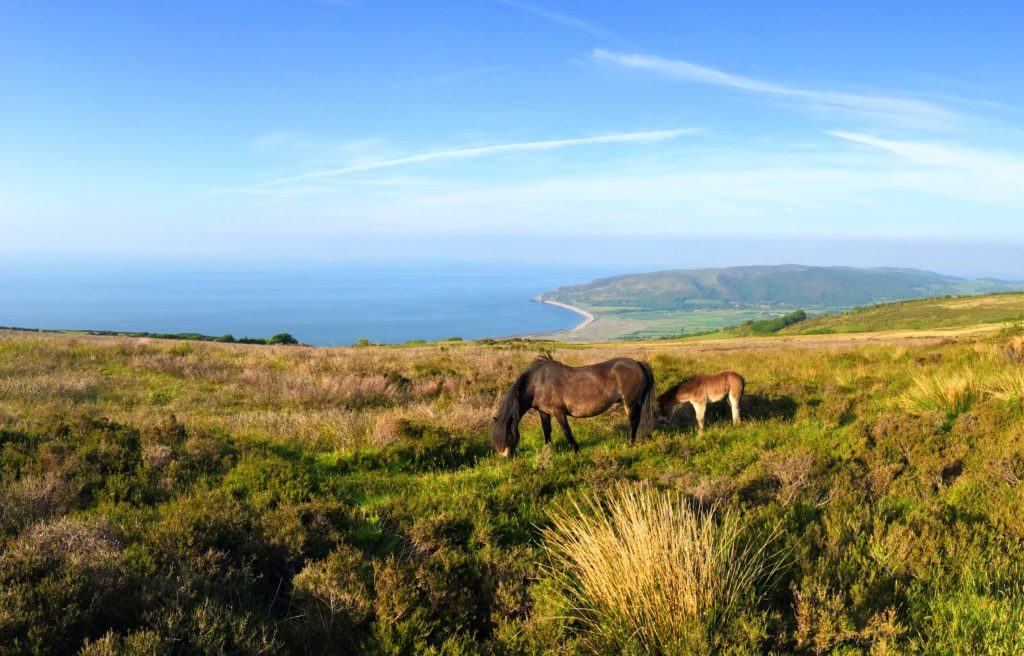 The Famous Exmoor Pony and Landscape