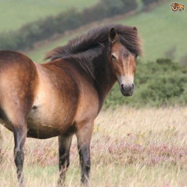 Have a cream tea with the Exmoor Ponies!