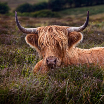 Photograph highland cattle with Mark Stothard